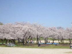 花の見どころ-桜(サクラ) 堺市